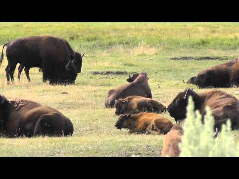 These Incredible Yellowstone Bison