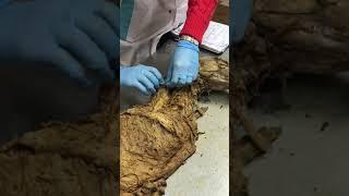 Мышц  шеи собаки/анатомия домашних животных