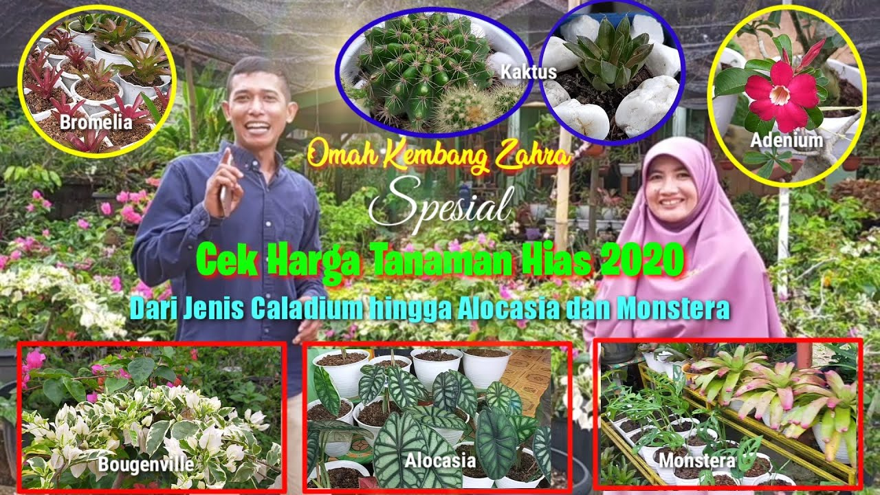Download Harga Tanaman Hias Oktober 2020 | Monstera, Alocasia, Adenium, Caladium, dll | Omah Kembang Zahra