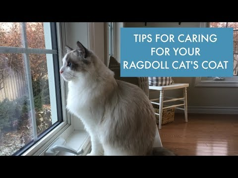 How to Care For Your Ragdoll Cat's Coat