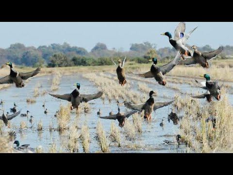 Waterfowl hunting – Migrated duck hunting in pakistan