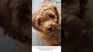 Labradoodle  Dog Breed Guide | Petmoo | #Shorts