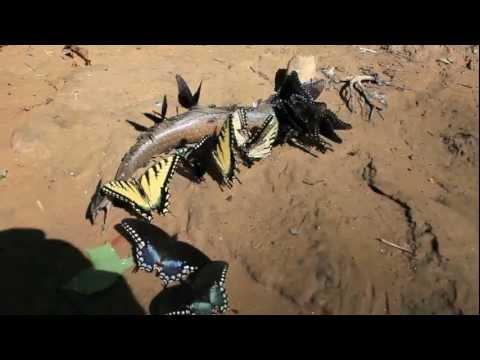 Carnivorous Scavenger Butterflies Eat A Fish
