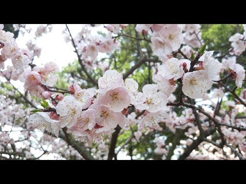 대순진리회 여주도장 - 종각 옆 살구나무와 새소리(볼륨업)