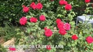 Rosa hybrida La Sevillana. Garden Center online Costa Brava - Girona.(Rosa hybrida La Sevillana. Garden Center online Costa Brava - Girona. Web: http://personalgardenshopper.es/, 2014-12-03T18:39:38.000Z)