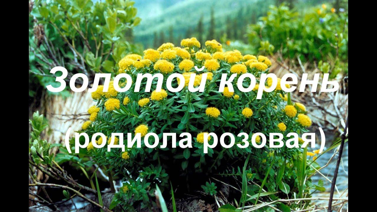 Перечислим, какие имеет настойка золотого корня показания к применению в. Хотя настойку из данного растения можно купить в аптеке, многие.