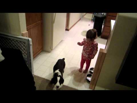 Springer Spaniel Puppy Chasing Baby