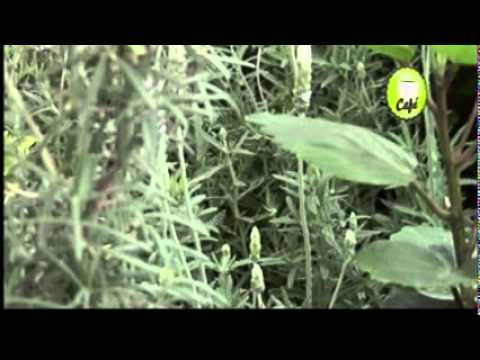 Nota jardiner a plantas arom ticas o hierbas de olor for Jardinera plantas aromaticas
