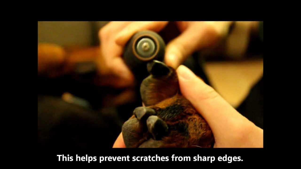 How to Dremel a dog\'s nails - YouTube
