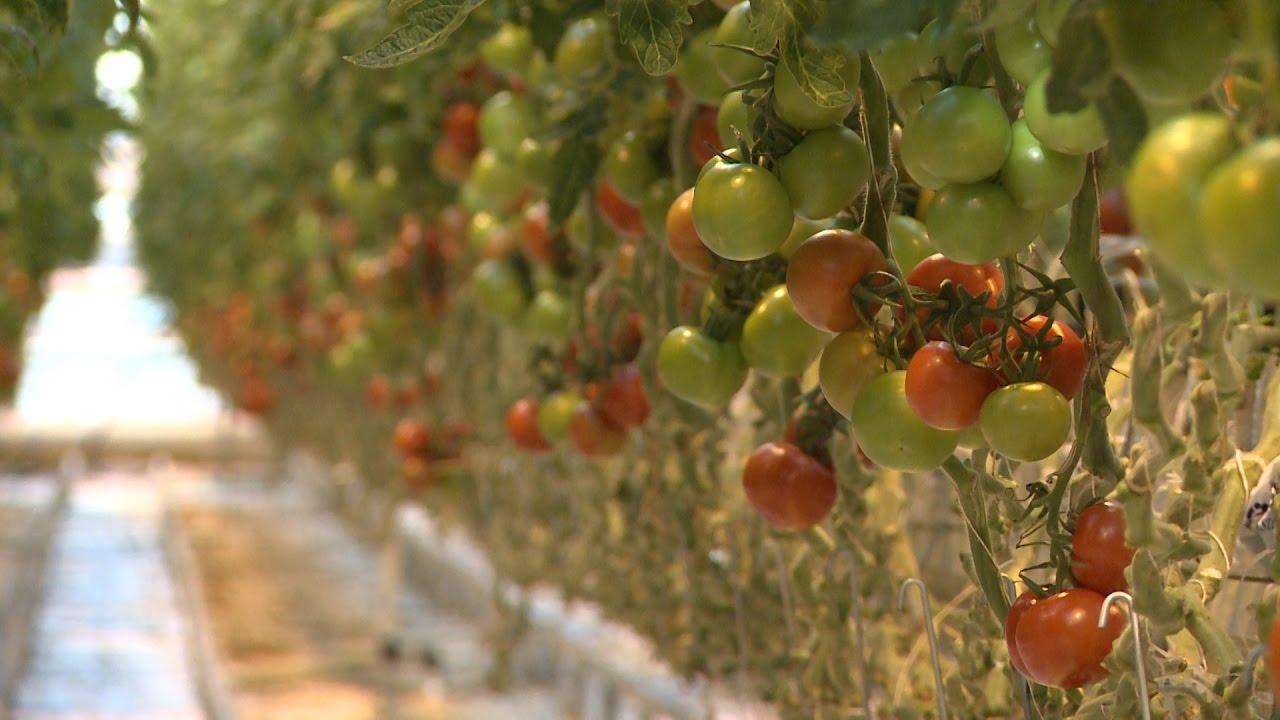 Помидоры цена где купить помидоры в Тюмени