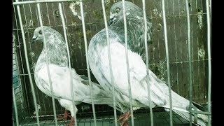 Z bagha  khaki/silver spring Pigeons in bd. rahman pigeons loft