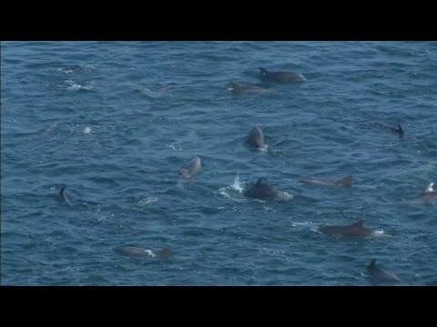 Dolphin killing starts at Taiji cove in Japan