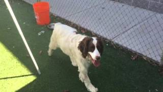 Meet Buddy A Spaniel English Springer Currently Available For Adoption At Petango.com! 9/4/2015 7:0