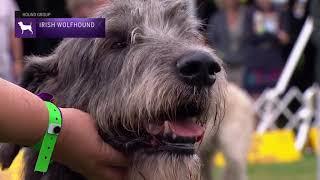 Irish Wolfhounds | Breed Judging 2021