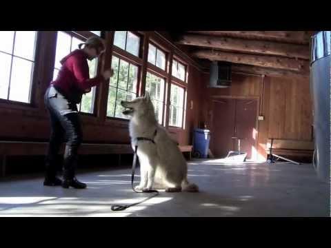Wolfdog Training--Shiloh and Oka