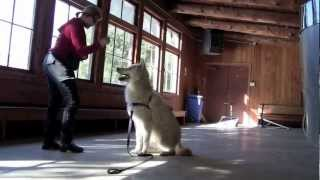 Wolfdog Training--Shiloh and Oka