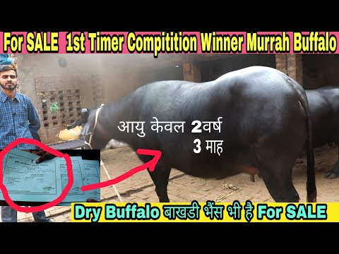 For SALE Compitition Winner 1st Timer Murrah Buffalo and Dry Buffalo for sale