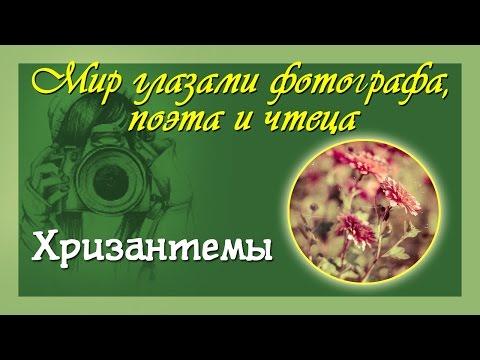 ЦВЕТЫ: ХРИЗАНТЕМЫ. Chrysanths flower