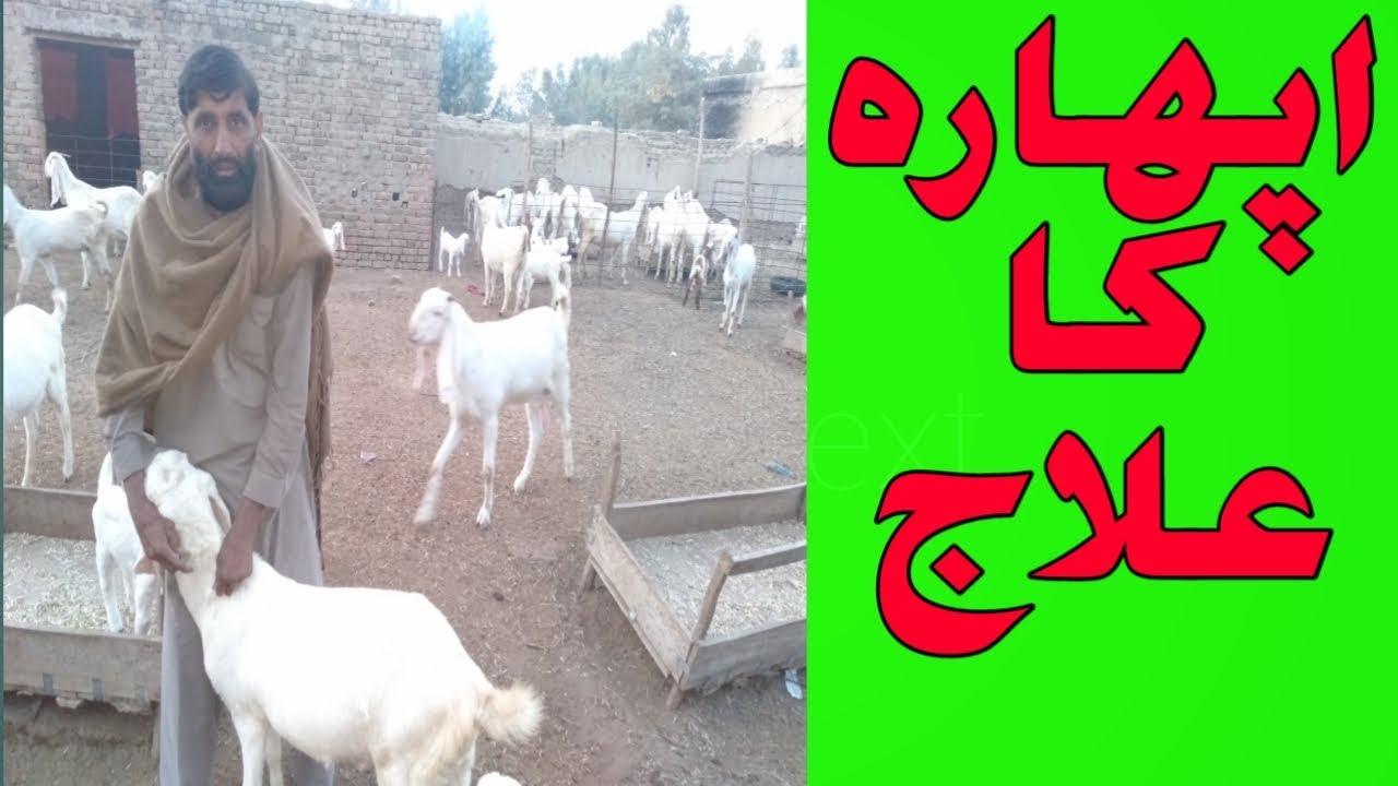 Bakri ke aphara ka ilaj | goat eating over feed | bakri ne jyada kha Lia |  Urdu Hindi