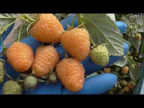 ЗОЛОТАЯ ЗЮГАНА - сорт малины с солнечной ягодой.
