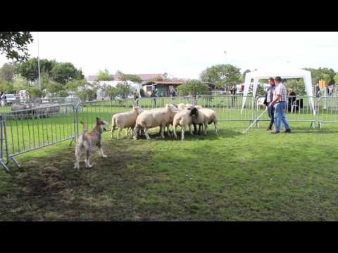 Berger Picard - Sheep Herding Ability Test - Sep 2015