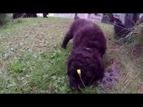 IWS2 Irish Water Spaniel puppies 5 week
