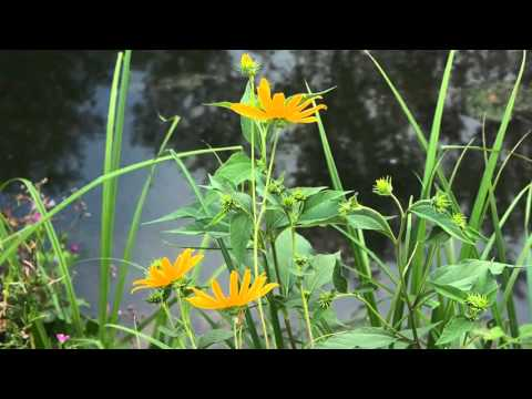 Helianthus tuberosus  1.mp4