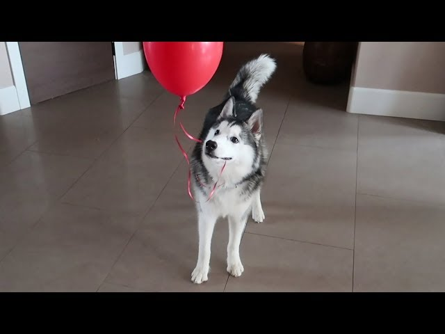 When you give a dog balloons..