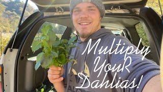 Grow Dahlias From CUTTINGS! EĄSY Propagation Method 🌼