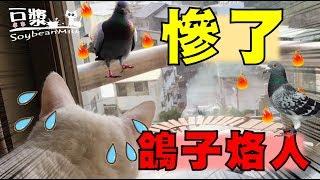 【豆漿與白目鴿】貓鴿大戰!鴿子太扯了 竟然還烙人! 豆漿慘被霸凌