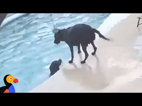 Hero Dog Saves Dog In Pool