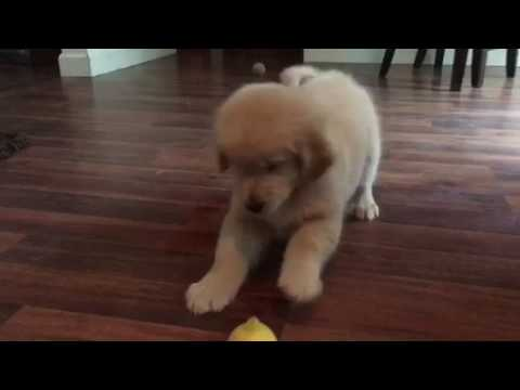 Golden Retriever Puppy Vs The Lemon