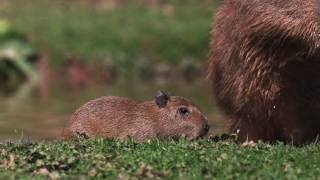 The world's largest rodent species has given birth at Chester Zoo