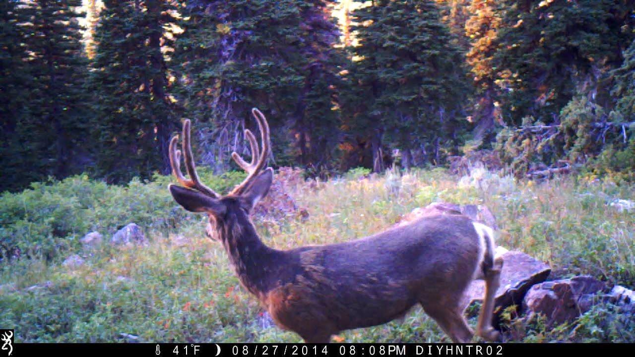 Trail Camera Scouting For Mule Deer in 2014