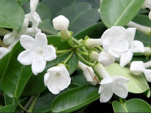 How To Grow And Care For House Plants Stephanotis Floribunda Youtube