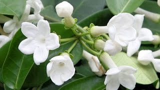 HOW TO GROW AND CARE FOR  HOUSE PLANTS - STEPHANOTIS FLORIBUNDA