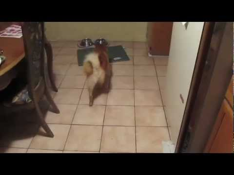 Kimma the Finnish Spitz - Useful Tricks