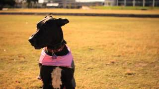 Great Dane With A Pink Vest | The Daily Puppy