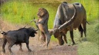 Clever Lion Surprise With Smart Buffalo