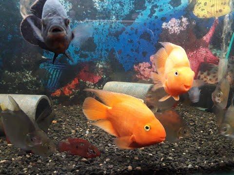 Oscar And Parrot Fish Tank Mates