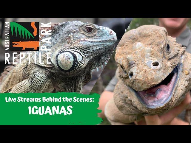 IGUANAS (LIVE FOOTAGE) | AUSTRLIAN REPTILE PARK