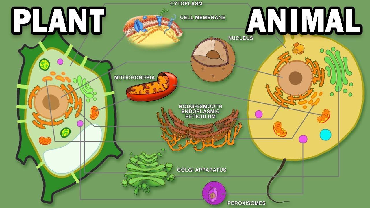 PLANT VS ANIMAL CELLS - YouTube