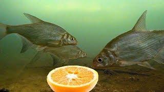 Реакция рыбы на апельсин! Лещ, окунь, плотва. Подводная съемка