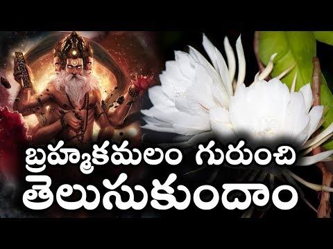 బ్రహ్మకమలం గురుంచి తెలుసుకుందాం || Story Of Brahma Kamal || Interesting Facts