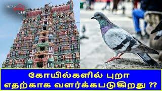 கோயில்களில் புறா எதற்காக வளர்க்கபடுகிறது ???? | Pegion on Temple | Britain Tamil Bhakthi