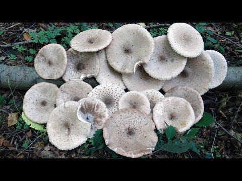 Гриб-зонтик пёстрый, или большой (Macrolepiota procera) деликатесный гриб