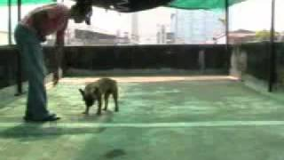Li Ming - Obedience class : Wait Command 01
