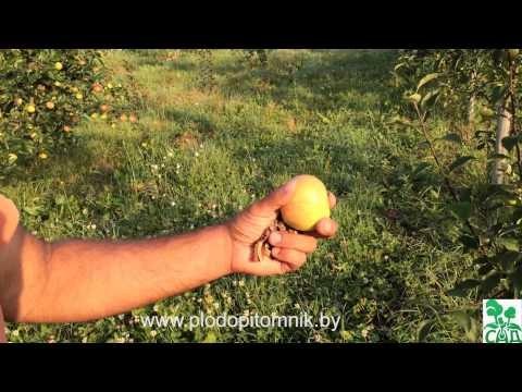 Яблоня Богатырь - ОПИСАНИЕ, ХАРАКТЕРИСТИКА