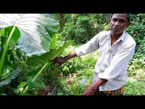 හබරල අළවල විස නැසීම How to harvest poisonous habarala roots