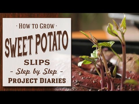 How To Grow Sweet Potato Slips Complete Step By Step Guide
